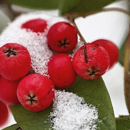 Rote Beeren im Schnee.