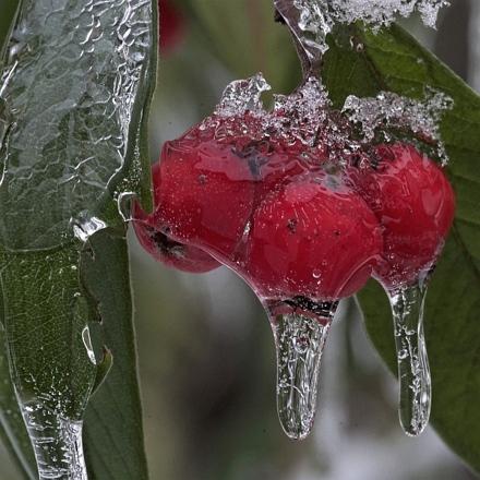 Rote Beeren unter einem Eispanzer.